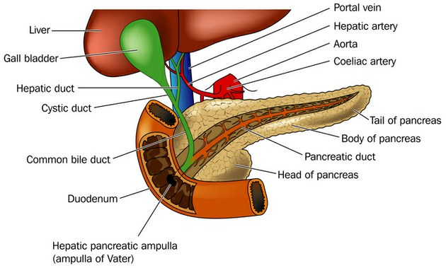 Pancreas Cancer Types Australian Pancreatic Cancer Genome Initiative